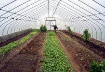 interior view of a greenhouse with rows of plants